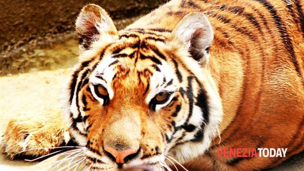 Campolongo maggiore sequestrato lo zoo delle tigri for Disegni delle tigri